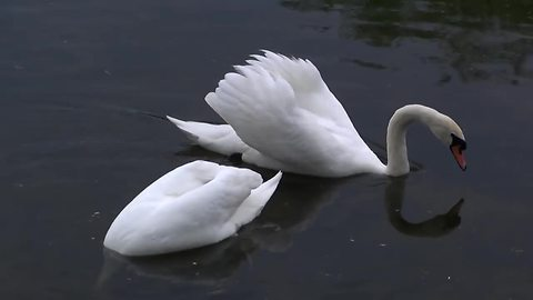 Swan and goose fight over territorial dispute