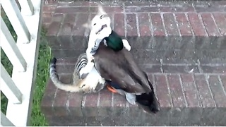 Befriended Cat And Duck Engage In Epic Play Fight - Video