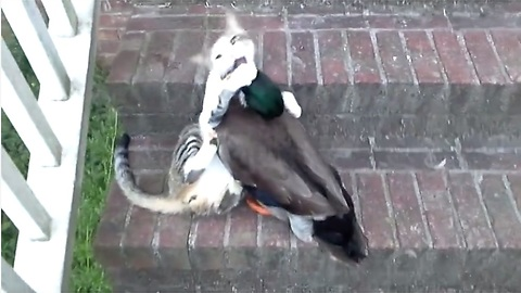 Befriended Cat And Duck Engage In Epic Play Fight