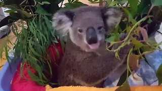 Koala Enjoys a Feed Despite Broken Leg from Car Accident - Video