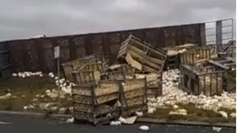 Truck Carrying Thousands of Chickens Crashes on Victoria Highway