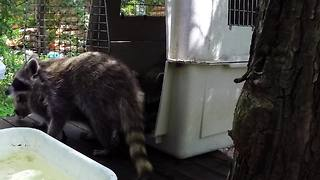 Raccoon orphans taste freedom after rehabilitation - Video