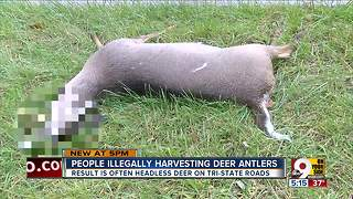People illegally harvesting deer antlers - Video