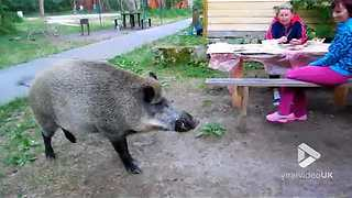 Family Feeds Wild Boar That Has Zest For Bread - Video