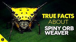 True facts about the Spiny Orb Weaver