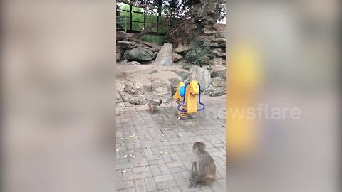Angry monkey mum shakes baby off rocking horse