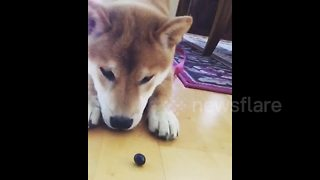 Puppy perplexed upon seeing for her first blueberry