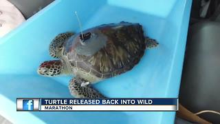 Rehabilitated green sea turtle released off Florida Keys - Video
