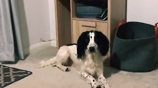 Pup adorably confused after owner moves his bed