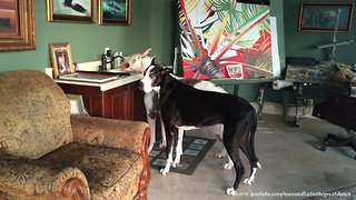 Cat Watches Great Danes Drink out of the Sink Together