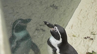 This Conceited Penguin Is Obsessed With His Own Reflection - Video