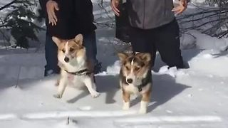 Slow motion Corgi drop into deep snow