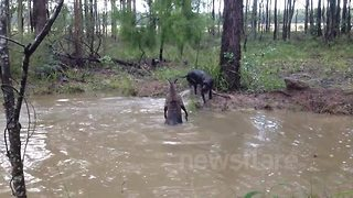Kangaroo tries to drown a curious dog - Video
