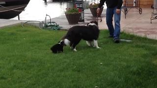 """Playing fetch with a twist: Border Collie VS Puppy dog"""