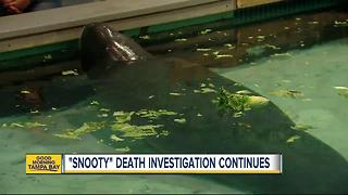 Snooty, world's oldest manatee in captivity, dies in 'heartbreaking accident,' 2 days after birthday