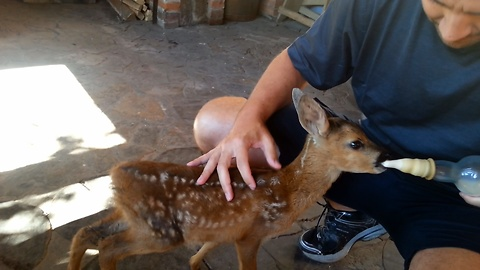 Man attempts to bottle-feed rescued fawn