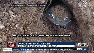 Stolen toads in Arizona - Video
