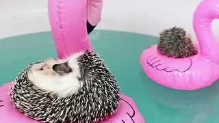 Two Super-Relaxed Hedgehogs Chill On Flamingo Floaties - Video
