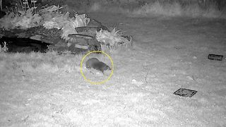 'Bully' hedgehog caught terrorising rivals over food – even tossing them into pond - Video