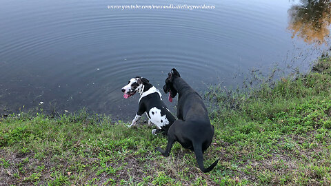 Great Dane Tries to Push Puppy Brother into the Pond