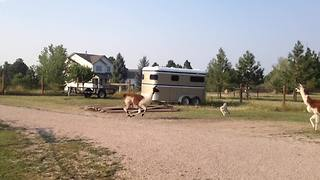 Funny Llama Chases A Dog - Video
