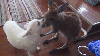Attentive Kangaroo Joey Grooms Chihuahua Friend - Video
