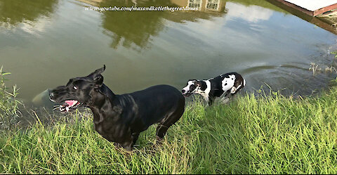 Playful Great Danes Love To Splash and Dash in the Pond