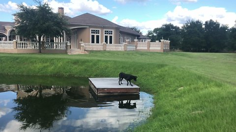 Great Dane's first ever jump off dock