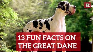 Fun and Lovable Facts on the Great Dane | Rare Animals - Video