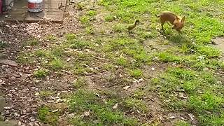 """""""Duckling Chases Chihuahua Who Doesn't Wanna Be Bothered"""""""