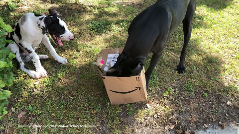 Excited Great Dane and Puppy Open Box With New Jolly Ball