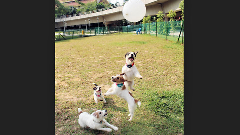 Jack Russells thrilled for epic balloon playtime