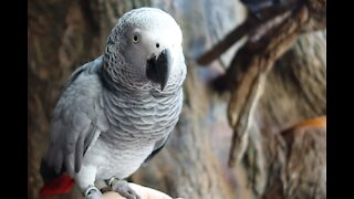 No one's at the door - this parrot just loves to knock!