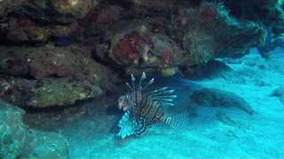 Lionfish Swims off Coast of Dutch Caribbean Island - Video