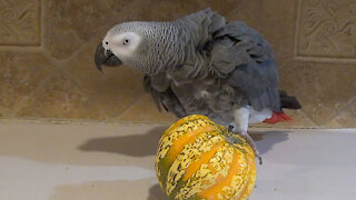 """Struggling parrot nods """"yes"""" to owner for his help"""