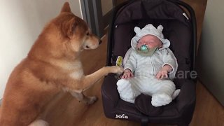 Shiba Inu Is The Best Babysitter That This Baby Could Have