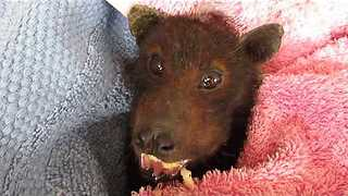 Nothing is Cuter Than This Rescued Bat Eating a Banana - Video