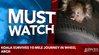 Koala survives 10-mile journey in wheel arch - Video