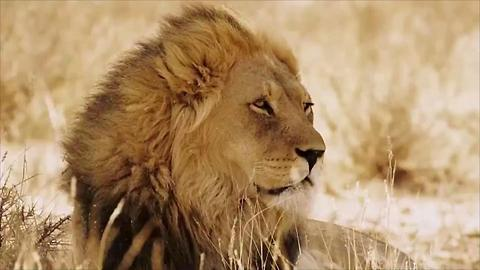 Pack of Lions Ate a Poacher, Left Only His Head