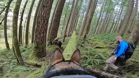 German Shepherd scales mossy logs while wearing GoPro
