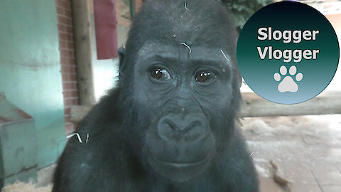 Long Video No2 Of The Twycross Gorilla Family
