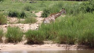 Massive crocodile takes down giraffe next to watering hole in rare footage - Video