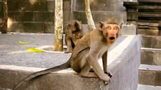 Monkey in Bali tries attacking tourist!