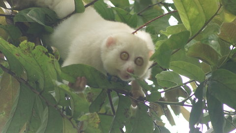 First Known Albino Slow Loris Released Back Into the Wild