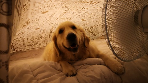 Golden Retriever discovers best way to beat the heat