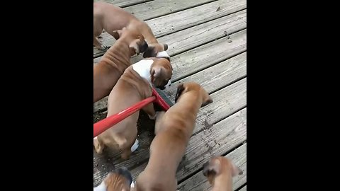 Litter of boxer puppies