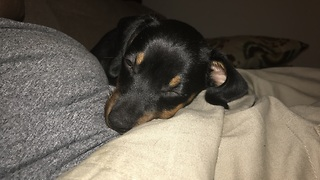 Hiccups prevent Dachshund puppy from falling asleep - Video