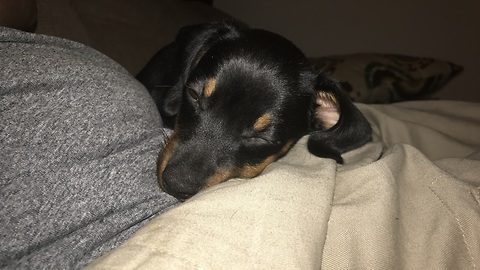 Hiccups prevent Dachshund puppy from falling asleep
