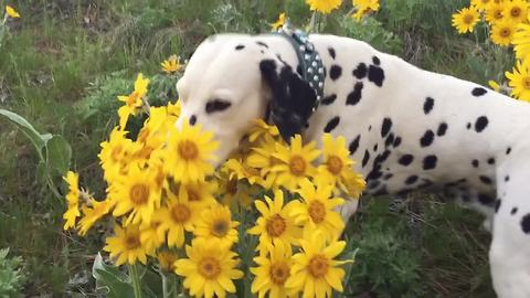 Dalmatian stops to smell the flowers