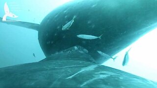 Rare Video Captures Whale Nursing Behaviors